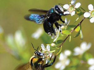 Rehoming native bee colonies at UQ